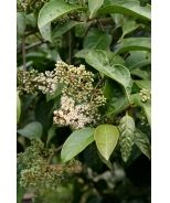 Honey Tree Viburnum (Viburnum arbicolon 'Honey Tree') - pt. shade - full sun *back fence line