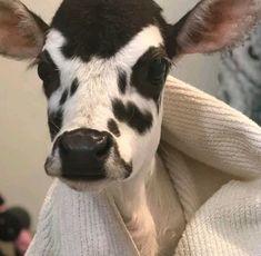Cute Baby Cow, Baby Cows, Cute Cows, Fluffy Cows, Fluffy Animals, Animals And Pets, Cute Creatures, Beautiful Creatures, Animals Beautiful