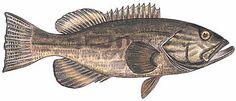 Peixe Badejo