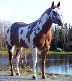 Pitchers of Paint Horses | Jolico Paint Horse, éleveur de chevaux Paint