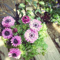 アネモネのシックな寄せ植え #シャビー#アンティーク#寄せ植え#シック#antique#garden#shabby