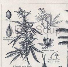 A close-up of Fiber Plants Cannabis Sativa Palm Antique Botanical  Engraving $15