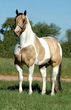 buckskin paint horses for sale Horses And Dogs, Cute Horses, Horses For Sale, Horse Love, Wild Horses, Black Horses, American Paint Horse, American Quarter Horse, Quarter Horses