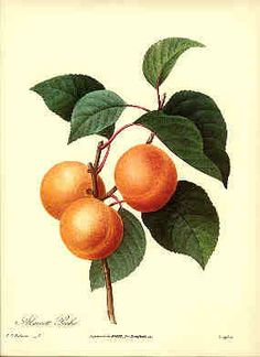 Redoute Botanical Print Apricot 1 by BritmoreCottage on Etsy, $4.99