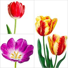 There are so many gorgeous tulips to choose from, which colour will you paint first?!