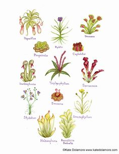 Carnivorous Plants Field Guide Style Watercolor Painting Print. $18.00, via Etsy. - For my kitchen!