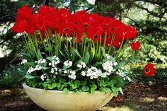 red tulip bulb garden - Google Search
