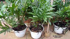 SAMAMBAIA-JAMAICA - ( Phymatosorus scolopendria )      Samambaia herbácearizomatosa.      SAMAMBAIA-JAMAICA - ( Phymatosorus scolope...