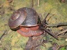 Lamarckiella oweniana