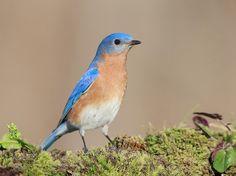 Eastern Bluebird by ElizabethE #animals #animal #pet #pets #animales #animallovers #photooftheday #amazing #picoftheday