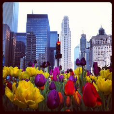 Bold and beautiful Mich Ave tulips (Chicago Pin of the Day, 4/8/2014).