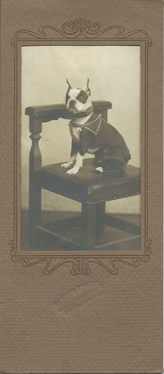 """c.1890-1910 silver gelatin photo of Boston Terrier in studded harness sitting on chair. Photo is cased in an Art Nouveau paper composite """"card."""" The piece measures 4"""" wide and 9-1/4"""" high. Name of photographer is stamped on the sleeve, below the photo. All I can read is Portland, Ore. From bendale collection"""