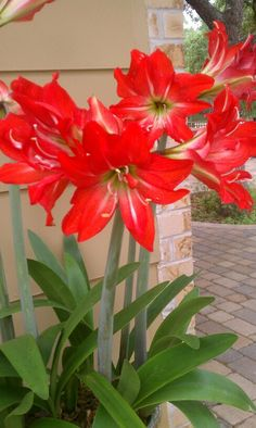 Houseplants That Filter the Air We Breathe Amaryllis Bulb Flowers Nature, Exotic Flowers, Flowers Garden, Pretty Flowers, Red Flowers, Planting Flowers, Bulbous Plants, Amaryllis Bulbs, Garden Bulbs