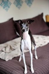 Molly Brown-EauClaire,WI is an adoptable Italian Greyhound Dog in Eau Claire, WI. Molly Brown is an adorable 5 year old IG girl who was adopted out as a 7 month old puppy, March 2007, and returned las...