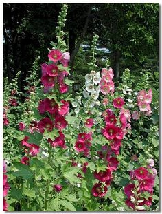 HOLLYHOCK | Tumblr