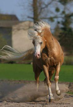 Karolina Wengerek EQUINE PHOTOGRAPHY   Welsh pony stallion ( SK Apasjonata www.welsh-pony.pl )