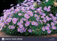 brachyscome multifida - Google Search