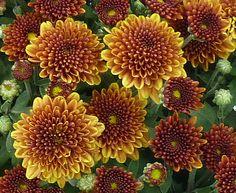 Garden Chrysanthemum Belgian Mum® Sorella Garden Mum, Chrysanthemum, Flowers, Royal Icing Flowers, Flower, Florals, Floral, Chrysanthemum Morifolium, Blossoms