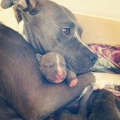 Pitbulls & Tattoos @pitbullsandtattoos SO SWEET! #pitbul...Instagram photo | Websta (Webstagram)