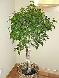 Ficus benjamina, Fico, Fico-chorão, Figueira, Figueira-benjamim