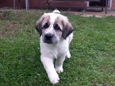 So sweet, such a cute Anatolian Shepherd puppy! Anatolian Shepherd Puppies, Shepherd Dog, Boer Goats, Puppies For Sale, Livestock, Predator, Country Girls, Animals Beautiful, Puppy Love