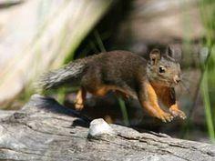 Picture of a Douglas' squirrel or Tamiasciurus douglasii