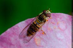 Schwebfliege auf Lilienblüte