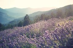 Lilacs and Mountains > I wanna lay down in the middle of those lilacs!