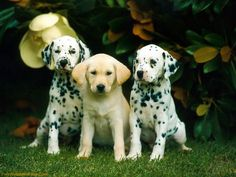 Free Dalmatian Puppies | Download Dalmatian Puppy Wallpaper From Puppy Wallpapers