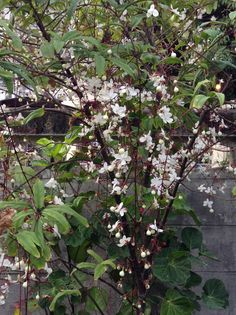 ดอกสร้อยสายเพชร at my garden มค.2557