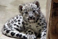 images of baby leopards   10 Cute Pictures of Baby Snow Leopards!