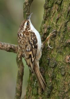 Treecreeper - resident in Cassies Wood, and I once saw one in Gainsborough Cemetery