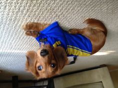 MY Dachschund Max <3    I made his a shirt form an old jersey.  He is a long haired red dapple with one eye half blue :)