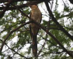 Oriental cuckoo , at Ridge near Karol Bag New delhi ,2011