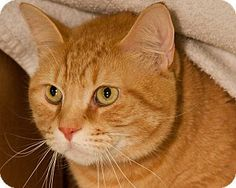 Boston, MA - Domestic Mediumhair. Meet SEBASTIAN a Cat for Adoption.