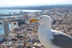 Alicante a Vista de Gaviota siguenos @David Font y @Gente De Alicante Alicante, David, Animals, Gull, Places To Visit, Animales, Animaux, Animal Memes, Animal