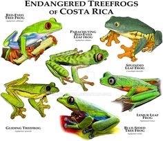 Endangered Treefrogs of Costa Rica by rogerdhall on DeviantArt