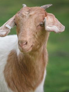 Aw it looks just like my goat Cinnamon I used to have:)!