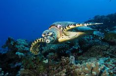 Turtle over Reef