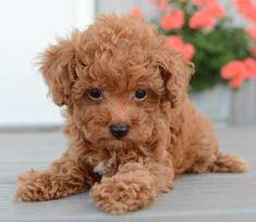 However, Toy Poodles are not for children. Some Toy Poodles are such gentle souls they are overwhelmed by the roughhousing and mischief of small children, while others simply won't put up with it. Poodle Mix Breeds, Poodle Puppies For Sale, Cute Puppies, Dog Breeds, Mini Poodles, Toy Poodles, Teddy Bear Poodle, Small Poodle, Cute Little Animals