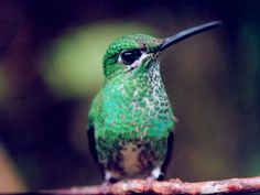 humming birds images | ... unidentified hummingbird costa rica unidentified hummingbirds fighting