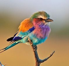Breasted Roller Bird