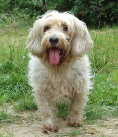 Petit Basset Griffon Vendeen - The dogs have a tousled appearance, with a harsh double coat that is both long and rough.The hair on the face and legs may be softer than body hair. The fur on the face resembles a beard and mustache. They usually have very long eyelashes.