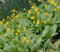 Erytronium tuolomnense -  is one of the quickest spreading types and good for ground cover in woodland garden or beneath shrubs.