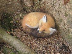 needle felted sleeping fox