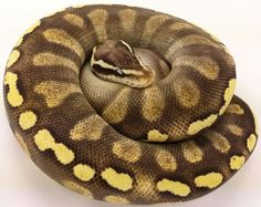 Super pastel ghi mojave loxahatchee herp hatchery Dream Snake, Pretty Snakes, Ball Python Morphs, Bouncy Ball, Reptiles And Amphibians, Yellow And Brown, Loki, Bordeaux, Balls