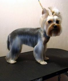 yorkie pictures of haircuts
