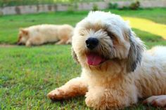 10 Best Dog Breeds For Apartment Living - Lhasa Apso