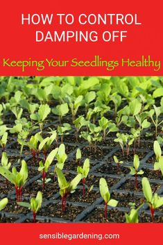 How to keep your seedlings healthy. Damping off can happen easily. What is it and how do you control it?