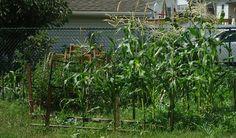 Odla majs i din egen trädgård!